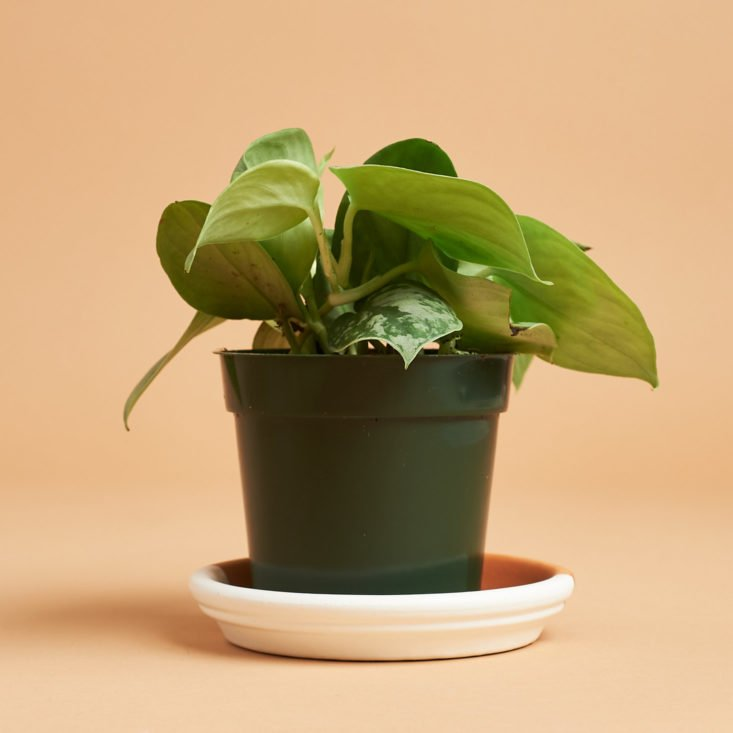 alternate view of ivy plant in plastic pot